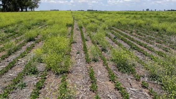 NABO. Un campo infestado con esta maleza en la zona rural de Oncativo. (Inta Manfredi)