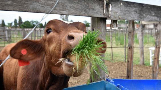 TERNERO. Según Víctor Moncada, presidente del cluster hidropónico que funciona en Malagueño, los bovinos pueden engordar más de un kilo por día con este alimento. (Ramiro Pereyra)