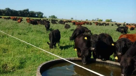 NUTRICIÓN. Salvo en situaciones de emergencia, como una sequía, los bovinos se alimentan solo de pasturas que pueden ser naturales o implantadas. (Gentileza Edgardo Bustamante)