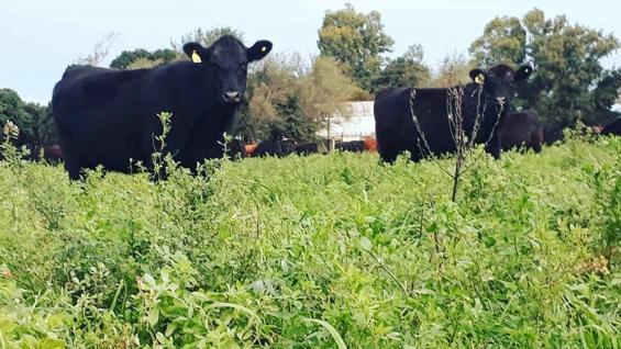 ENGORDE. En pequeñas parcelas, 1.200 bovinos se alimentan de pasturas y ganan 200 kilos en un año en El Mate y La Casualidad. (Gentileza El Mate Alimentos Agroecológicos)