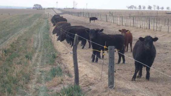 RODEO. En San Miguel tienen casi 1.500 bovinos; la gran mayoría, Aberdeen Angus. (Gentileza Mariela Bruno)