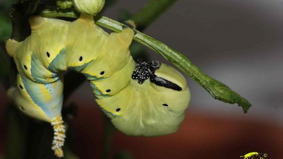 La oruga de la remolacha, la plaga utilizada en la investigación. (Foto web)