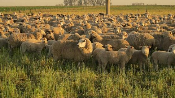CORDEROS. Un plantel de 700 ejemplares ovinos también circula por las parcelas y se destinan al mercado interno. (Gentileza El Mate Alimentos Agroecológicos)