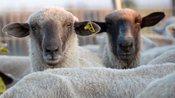 DE EXPORTACIÓN. En el Paraje Cuatro Vientos, cerca de Río Cuarto, está uno de los 23 establecimientos que exportaron 22 mil kilos de lana a Uruguay en noviembre. (Tomy Fragueiro)