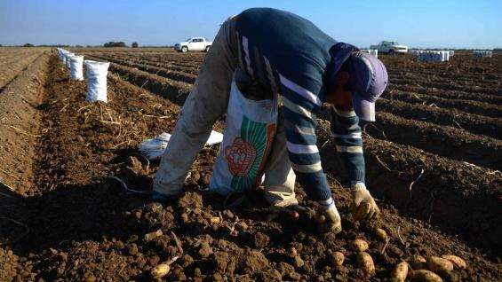HORTALIZA. Además de soja y maíz, los Arnaldo también producen papa. (Nicolás Bravo / LA VOZ)