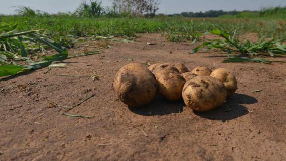 PAPAS. Los productores temen que las importaciones perjudiquen más el mercado (LA VOZ/Archivo)