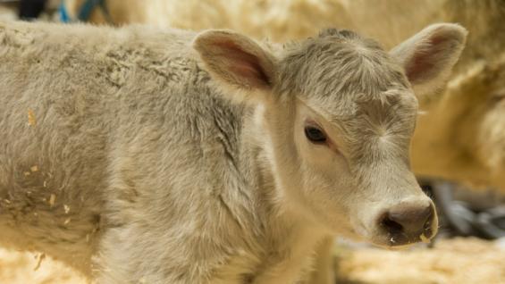 PITUCA. La hembra Murray Grey que nació el miércoles en Palermo. (Prensa Sociedad Rural)