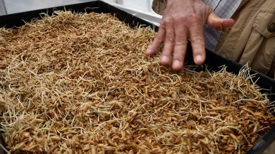 SEMILLAS. El primer paso del forraje hidropónico es distribuir semillas en bandejas y hacerlas germinar en una cámara oscura. (Ramiro Pereyra)