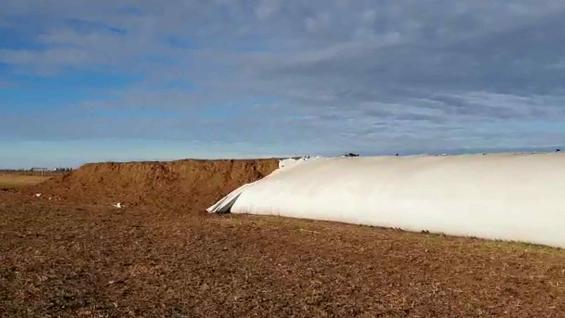 ALIMENTO. Los silos bolsa rotos en Coronel Moldes contenían sorgo picado para suplementar la dieta de los terneros. (Gentileza Federico Falco)