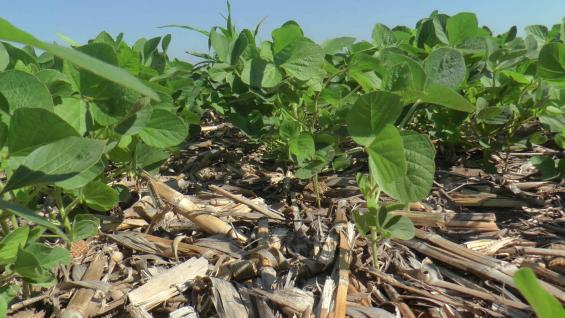 CULTIVO. La soja, en buenas condiciones en el campo de Despeñaderos. (Gentileza UPL)