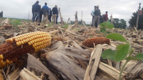 SUSTENTABLE. La rotación es un lema en los campos de los Lubatti: un lote con soja brotando sobre rastrojos de maíz que se cultivó sobre trigo es una muestra. (LA VOZ)