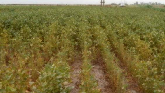 SOJA. Cultivo con síntomas de estrés hídrico en Villa Concepción del Tío (Bolsa de Cereales de Córdoba)