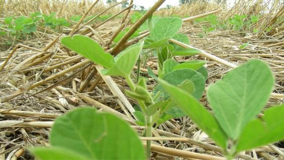 RINDES. En media loma con cobertura, la soja rindió 700 kilos por hectárea más. (Inta Informa)