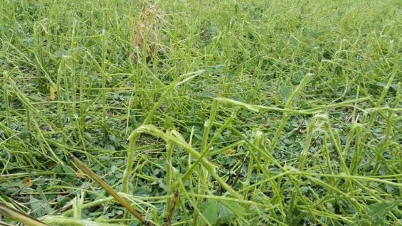 En la estancia el Chara, cerca de Villa Sarmiento, la soja también se vio afectada por el granizo.