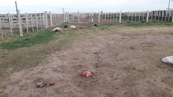 CUATRERISMO. Terneros fueron carneados en Las Varillas. (Gentileza TodoAgro)