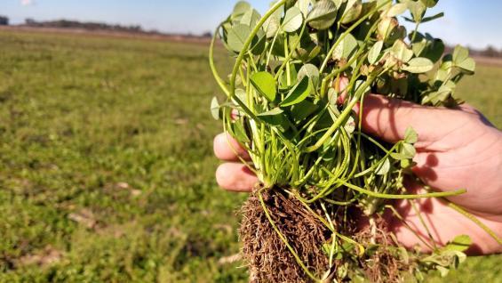 """TRÉBOL PERSA. Uno de los cultivos """"de servicios"""" que se están ensayando en el sudeste y sur de Córdoba. (Gentileza Lucas Andreoni)"""