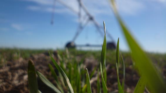 COBERTURA. Junto con el flujo económico, tanto el trigo como el garbanzo juegan su rol como cultivos de cobertura al servicio del control de malezas. (LA VOZ)