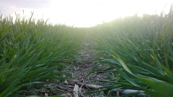 CUBIERTO. Un lote sembrado en la zona de Corral de Bustos, sobre rastrojos de maíz, en buenas condiciones pese a la falta de agua. (Gentileza Juan Pablo Ioele)