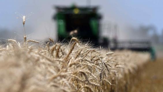 CRECIMIENTO. En el centro-norte de Córdoba, ya se cosechó el 80 por ciento del trigo con rindes que promedian los 22 quintales y superan los valores de la campaña anterior. (Tomy Fragueiro)