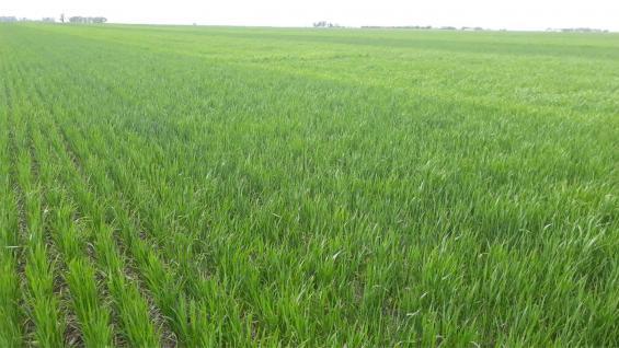 TRIGO. Los rindes mejoran con más fertilización, pero la misma no debe ser demasiado alta. (Inta Laboulaye)