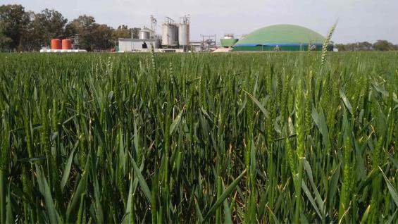 ENERGIZADO. En el establecimiento Las Chicas, de Rayo Cortado, el cereal crece al lado de un biodigestor. (Mario Aguilar Benítez)
