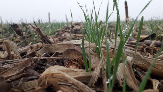 SUSTENTABILIDAD. Primeros brotes de trigo, en la zona de Los Surgentes, sobre un rastrojo de maíz de la última campaña. (Gentileza Más Hectáreas)