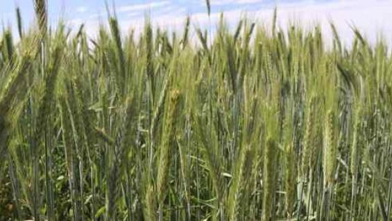 OPTIMISMO. Los indicadores económicos son favorables al trigo. (Fertilizar)