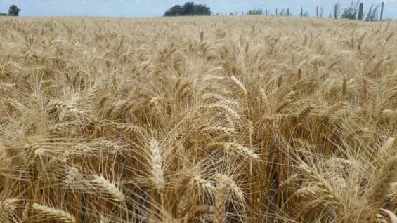 ESPIGAS. Un lote en excelente estado en Laboulaye (Bolsa de Cereales)