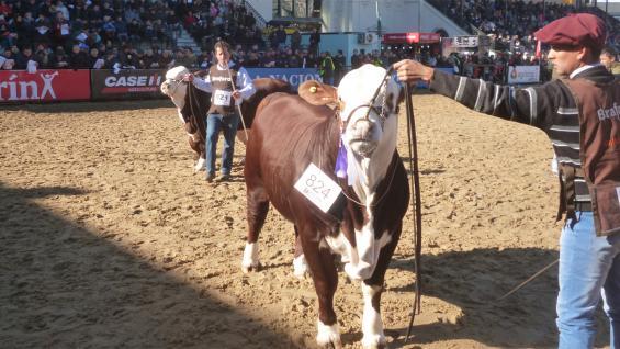 VIDRIERA. Desde hace más de 100 años, los certámenes en Palermo reconocen el desempeño de la ganadería nacional. En esta edición, más de 600 bovinos pasaron por sus pistas. (LA VOZ)