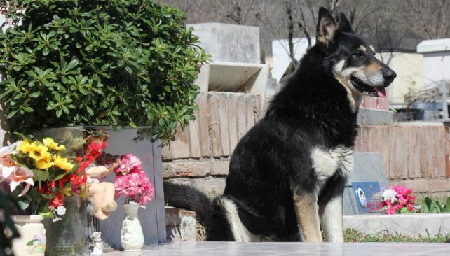 Perro leal. Capitán, en el cementerio de Carlos Paz, que eligió como hogar para seguir cerca de su amo. De ahí no se va (LaVoz).