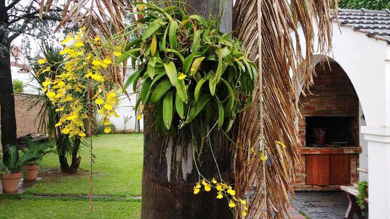 Flor de Patito (Oncidium fimbríatum) en un jardín cordobés. (Aguas Cordobesas)