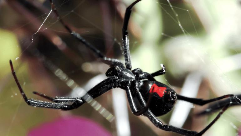 El grupo de arañas más peligrosas en Córdoba son la castaña domiciliaria y la viuda negra. (Sanatorio Allende)