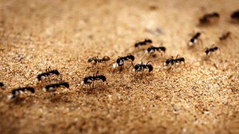 Las hormigas coloradas pueden atacar con poca advertencia y, en promedio, pican de siete a ocho veces en un patrón circular. (Sanatorio Allende).