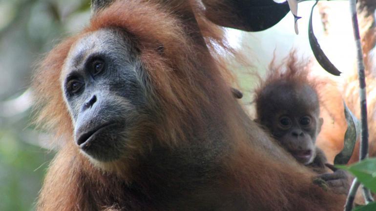 TRES. Antes de este descubrimiento, existían dos especies más de orangután. (AP)