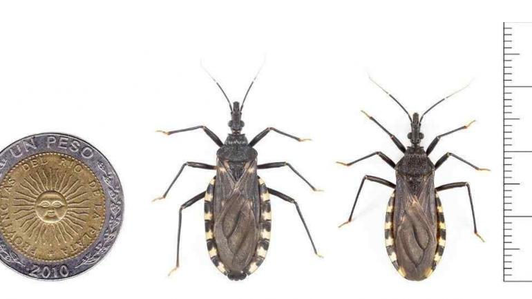 COMPARACIÓN. La app tiene una serie de imágenes comparativas que facilitan la diferenciación de la vinchuca con otros insectos. (Gentileza TN)