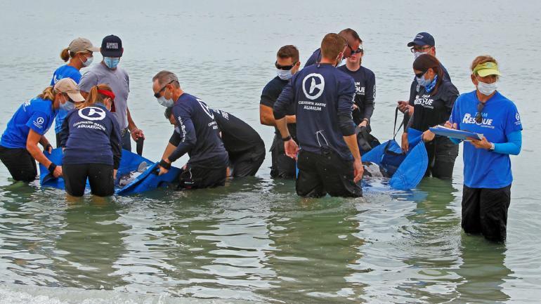 RESCATE. De dos pequeñas ballenas asesinas (Jim Damaske / Tampa Bay Times vía AP).