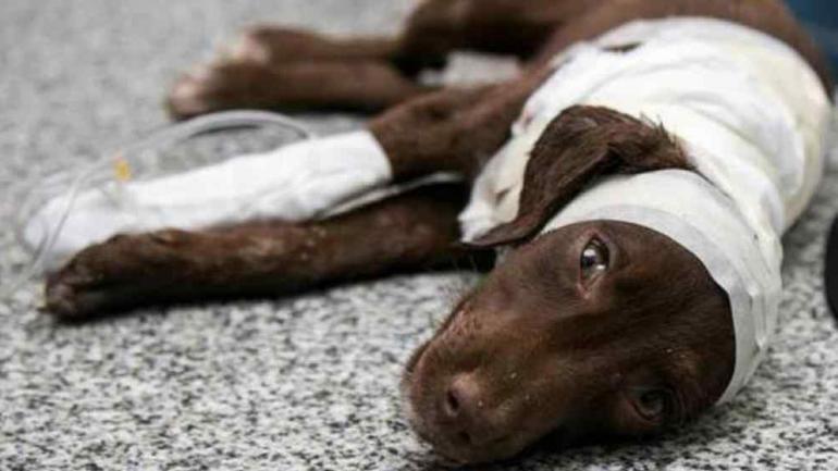SAN FRANCISCO. El perro Chocolate que murió días después de ser despellejado (La Voz/Archivo).