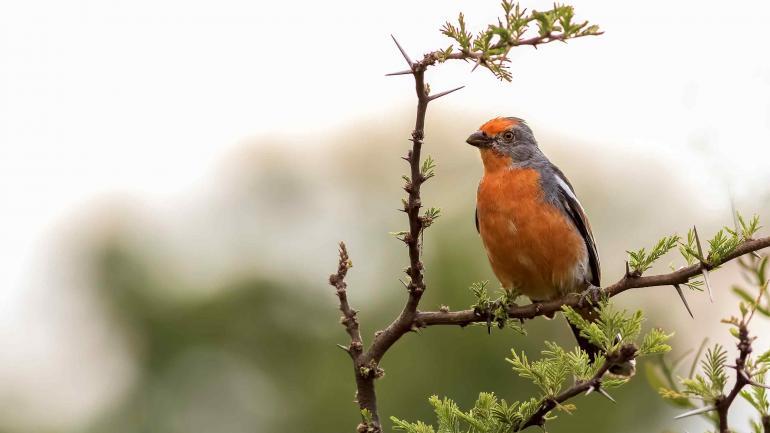 Aves. El cortarramas, una de la 229 especies. (Gentileza de Pablo Merkel)