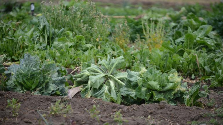 Variedad verde. Las huertas ayudan a la soberanía alimentaria.