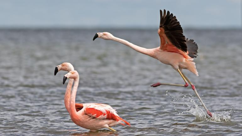 AVES. Las aves, como estos flamencos, son el principal atractivo de Mar Chiquita. (Aves Argentinas)