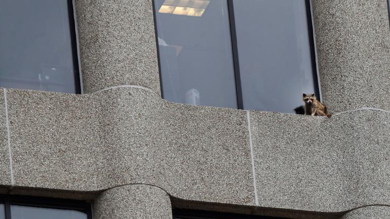 """Rescatan a mapache que trepó a un edificio de 25 pisos"""""""