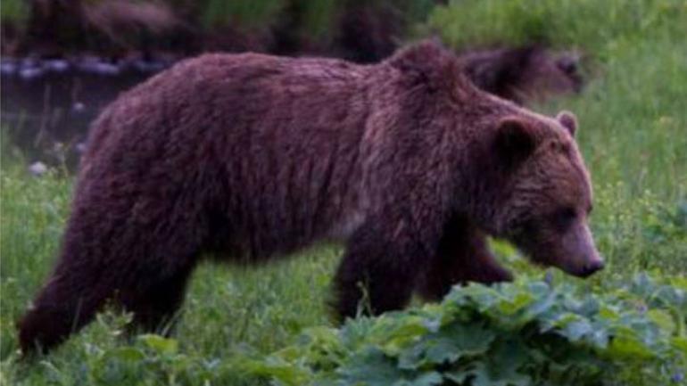 Un ejemplar del oso grizzly, habitual en el norte de EE.UU y Canadá. (AP / Archivo)