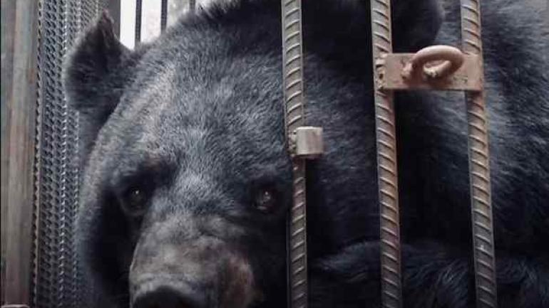 El oso de dos años fue trasladado a un refugio local en buenas condiciones de salud.