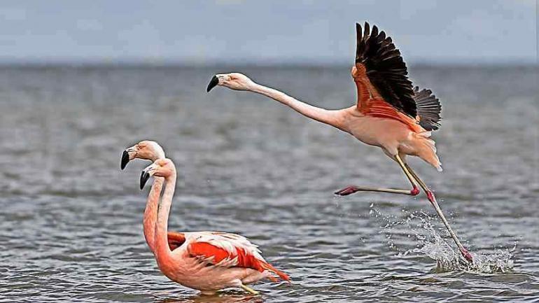 Flamencos australes. Años atrás, se detectaron colonias de hasta 100 mil ejemplares en la laguna de Mar Chiquita. (Pablo Rodríguez Merkel)