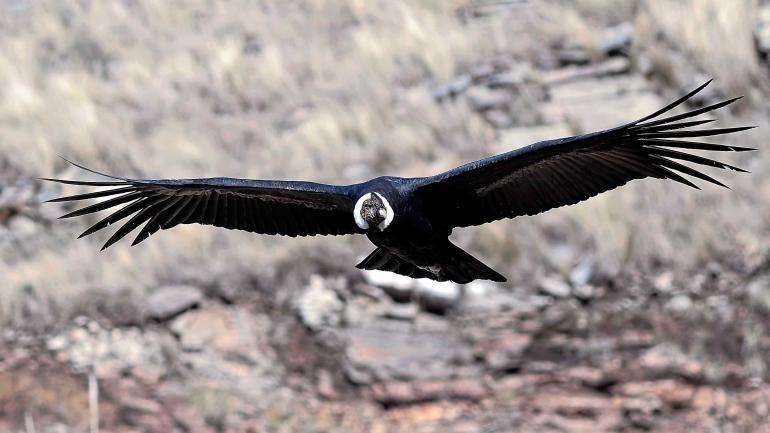 El rey de las alturas. Es frecuente observar a estas aves sobre el paisaje intacto de la estancia Pinas. (Pablo Rodríguez Merkel)