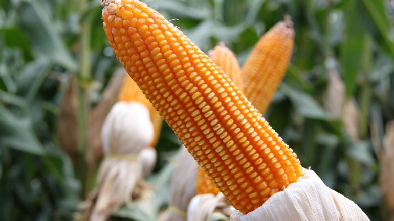 MAÍZ. Es el cultivo que más inversión requiere al momento de la siembra. Como el trigo pasará a tributar 10 por ciento de retención. (LA VOZ / ARCHIVO)