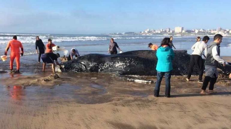MAR DEL PLATA. La ballena encalló y rescatistas trabajan para liberarla (Clarín).
