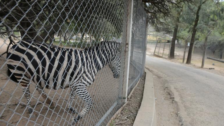 HUIDA. El escape de la cebra fue interpretado por proteccionistas como una muestra más del estado del zoológico. (Archivo/La Voz)