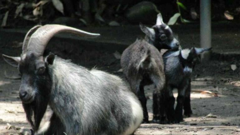 Cabra de Camerún, uno de los animales disponibles. (Gentileza Lavozdesanjusto.com.ar)