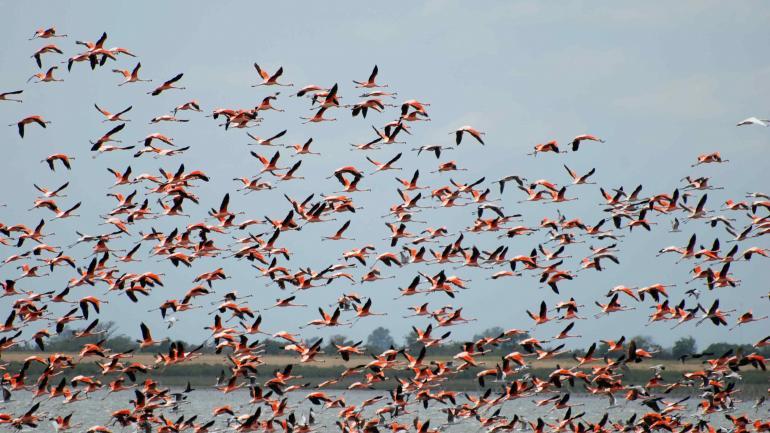 Flamencos rosados. Habitan en colonias en torno a la laguna. La coloración es una variación estacional de tonos en el plumaje. (Gentileza Gustavo Bruno)